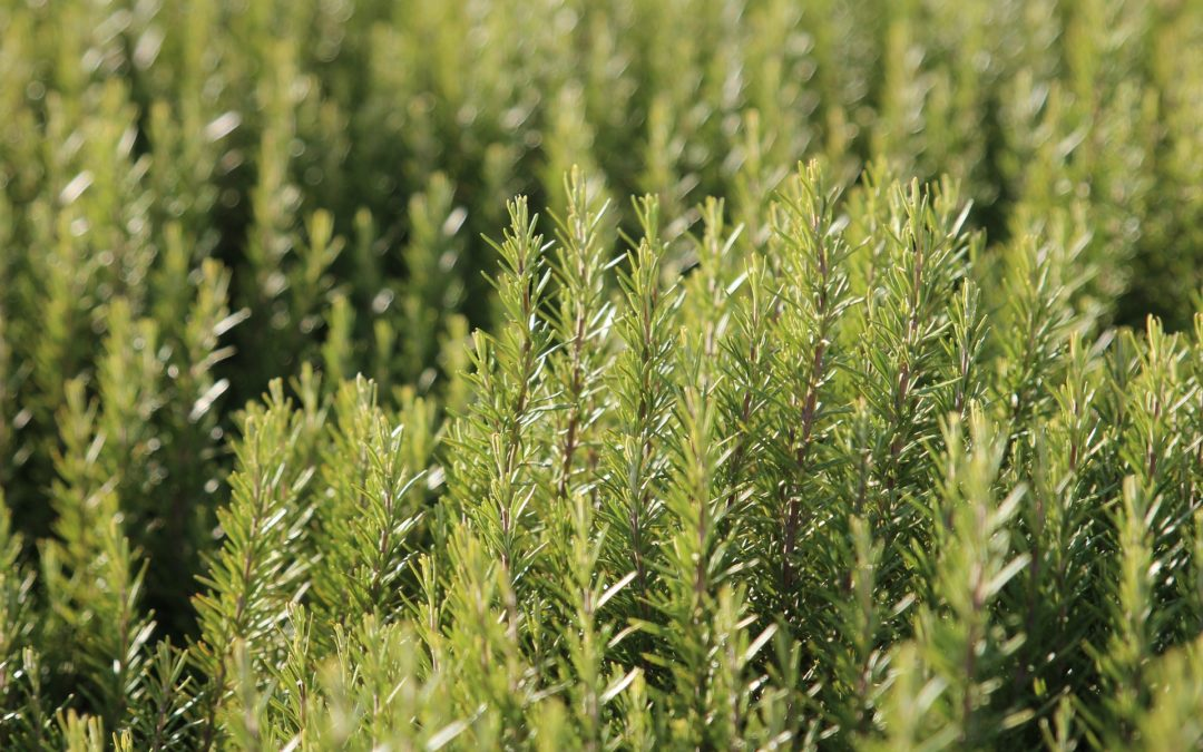 Can cats and dogs eat rosemary?
