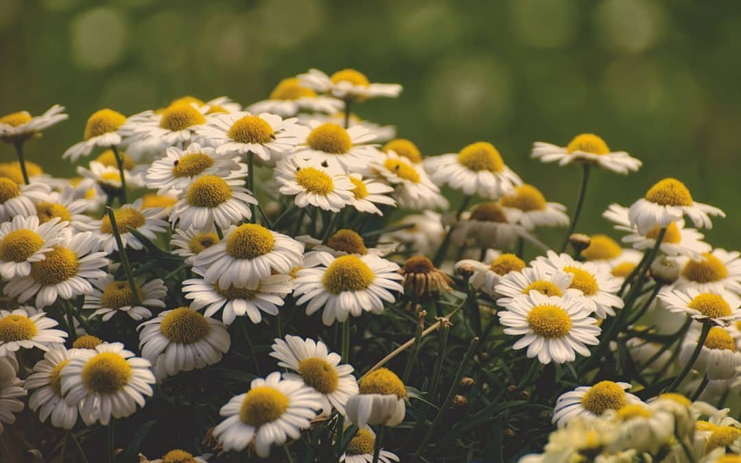 Can dogs and cats eat chamomile?